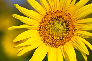 Sunflower with beautiful background.
