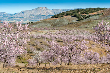View of Almond Blossom fields, Velez Blanco, Almeria, Spain