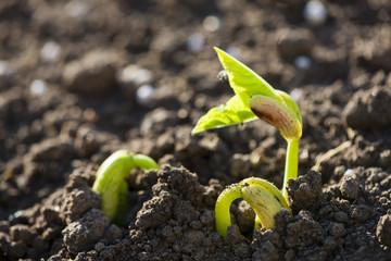seedling of bean