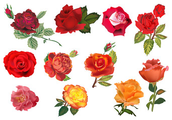 eleven orange nad red isolated roses