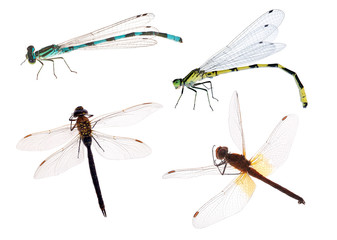four color dragonflies on white background