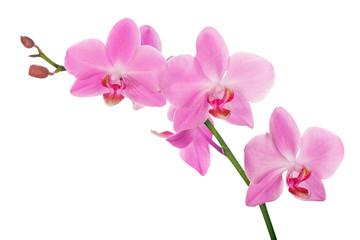 Photo sur Toile Orchidée pink orchid branch with five flowers