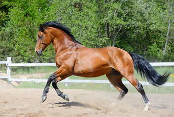 Fototapete - Bay horse of Ukrainian riding breed in motion