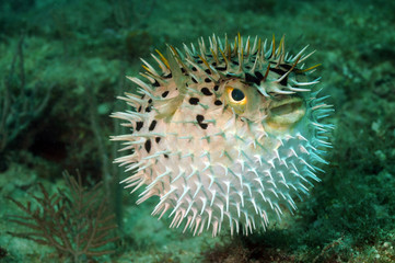 Wall Mural - Blowfish or puffer fish in ocean