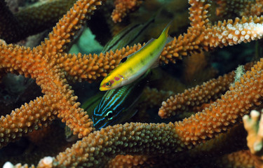 Fototapete - grunt and yellow wrasse with staghorn coral