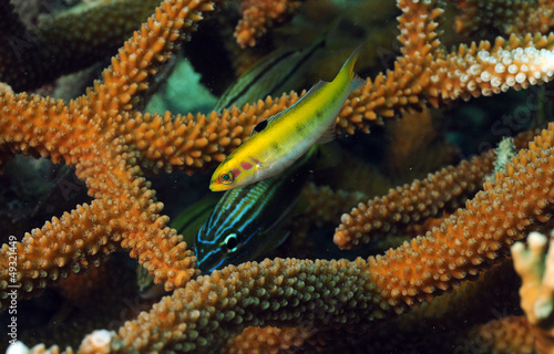 Wall mural grunt and yellow wrasse with staghorn coral
