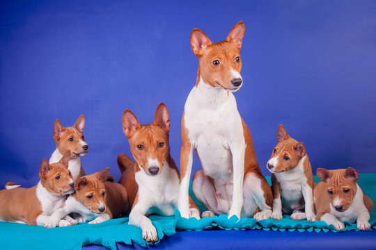 Litter of basenji puppies (1,5 month old) with parents