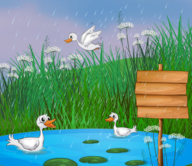 Ducks playing in the rain