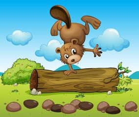 A beaver balancing