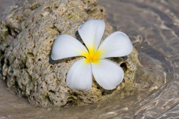 White Frangipani flower ( plumeria ) on the sea