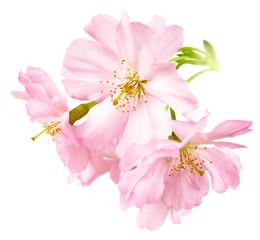 Papiers peints Fleur de cerisier Freigestellte Kirschblüten