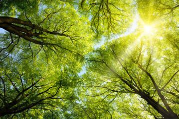 Wall Mural - Sonnen leuchtet durch Baumkronen