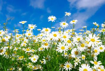 Wall Mural - white daisies