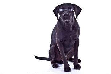 Hund guckt mit Brille