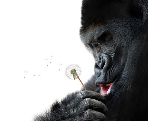 Gorilla making a wish, isolated on white background