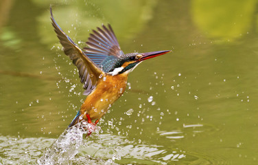 common kingfisher,Alcedo atthis Wall mural