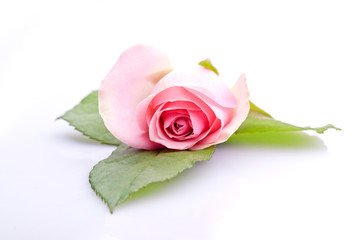 einzelne rosa Rose