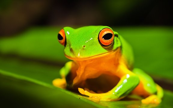 A macro shot of a beautiful Australian Orange thighed Tree frog