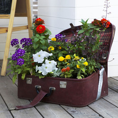 colorful Primulas and petunia in rattan suitcase
