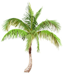 Illustration of the palm tree