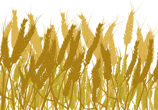 gold wheat field isolated on white