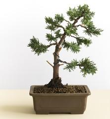 Young Bonsai Tree of Juniperus Chinensis