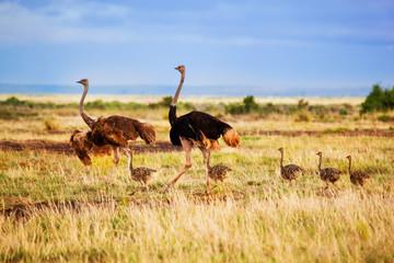 Zelfklevend Fotobehang Struisvogel Ostrich family on savanna, safari in Amboseli, Kenya
