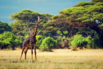 Wall Mural - Giraffe on savanna. Safari in Amboseli, Kenya, Africa