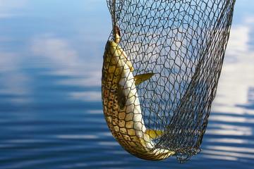 Printed kitchen splashbacks Fishing trout catch