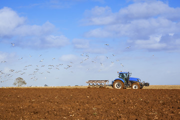 Wall Mural - Gulls following Tractor Ploughing Field