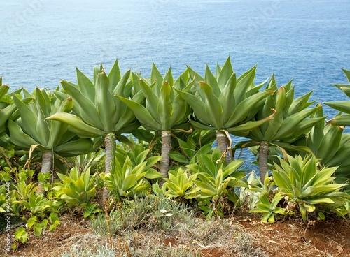plante grasse madere