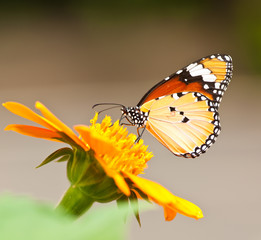 Butterfly is on mexican sunflower