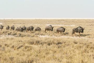 Migrating blue wildebeests (Connochaetes taurinus)