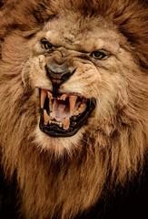 Foto auf Leinwand Löwe Close-up shot of roaring lion