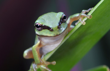 Green frog in rainforest