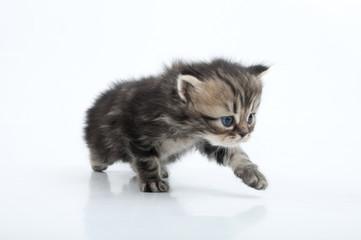 small Scottish straight kitten walking towards