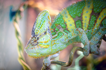 Printed kitchen splashbacks Bestsellers chameleon is sleeping on a branch.