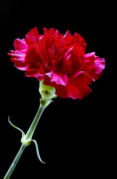 Dark red carnation flower on black background