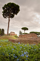 Fototapete - Domus Augustana baths ruins and tree in palatine hill at Rome