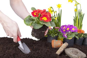 Foto op Plexiglas Tuin Mann bei der Gartenarbeit - Primeln einpflanzen