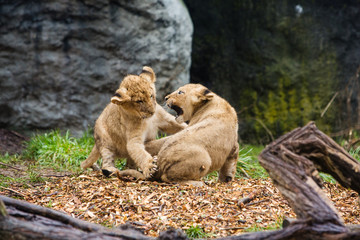two young lion cubs fighting