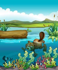 A beaver near the coral reefs