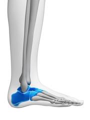3d rendered illustration - tarsal bones