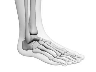 3d rendered illustration - foot anatomy
