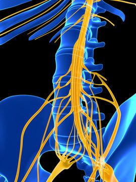 3d rendered illustration - spinal cord