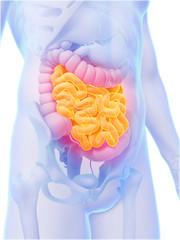 3d rendered illustration - small intestine