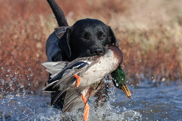 Fototapete - Black Lab with Mallard