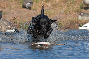 Fototapete - Black Lab Retrieving a Drake Gadwall