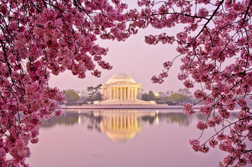 Sunrise with cherry blossoms at Jefferson Memorial.