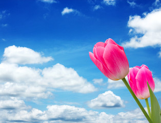 two tulips on blue sky
